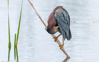 Green Heron (Héron vert)