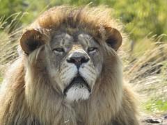 I smell human. (Simply Sharon !) Tags: lion bigcat cat preditor carnivour animal yorkshirewildlifepark