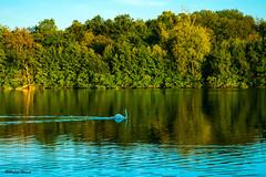 La balade du cygne au coucher du soleil (didier95) Tags: etang cygne arbre reflet paysage vertlepetit essonne iledefrance oiseau