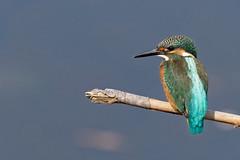 Common Kingfisher (Stu Price) Tags: commonkingfisher yakumo