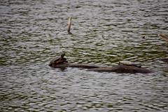 18SHR202 Terrapins, Priorslee Flash (bentolley1) Tags: england shropshire telford lake water animal reptile terrapin