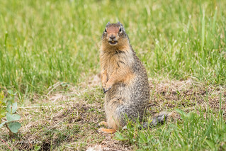 Columbian Ground Squirrel - You looking at me? 501_1901.jpg