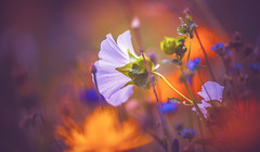 The effect of colours on mood (Dhina A) Tags: sony a7rii ilce7rm2 a7r2 a7r carlzeissjenakipronar120mmf19 vintage cine projectionlens projectorlens petzval wildflower flower bokeh colours colors mood