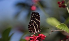 Some Kinda Wonderful (ACEZandEIGHTZ) Tags: butterfly side view insect flying nikon d3200 zebra longwing striped stripes black heliconius charithonia bokeh coth5 sunray5 naturethroughthelens