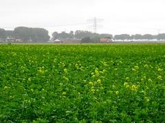 's Heerenhoek (Omroep Zeeland) Tags: koolzaad bloei