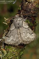 Pale Eggar (Trichiura crataegi) (gcampbellphoto) Tags: paleeggar trichiuracrataegi moth insect macro nature wildlife biodiversity countyfermanagh northernireland gcampbellphoto