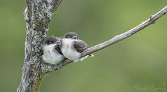 Cozy (Keztik) Tags: tyran tritri eastern kingbird tyrannus oiseau bird young jeune animal wildlife nature nikon d7500