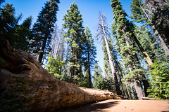 Fallen Sequoia in Tuolumne Grove