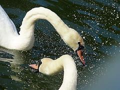 Grub Up! (Smiffy'37) Tags: swans wildlife water waterbirds nature closeup lake