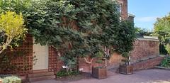 A Beautiful Edible Fig Tree (standhisround) Tags: wednesdaywalls wall building figtree trees tree leaves royalbotanicalgardens gardens foliage kewgardens kew kitchens london kewpalace uk rbg hww