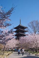 Toji Temple Sakura - Kyoto, Japan (inefekt69) Tags: kyoto japan toji temple 日本 京都 nikon d5500 sakura cherry blossoms flowers spring さくら 桜 花見 東寺 pagoda
