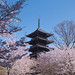 Toji Temple Sakura - Kyoto, Japan