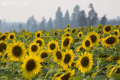 A Touch of Tuscany (right2roam) Tags: washington state northwest inland stevenscounty sunflowers tournesol flowers field agriculture right2roam rural charming helianthus farming
