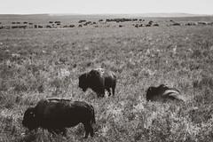 The Return (cutthroatsrule) Tags: monochrome montana buffalo bison