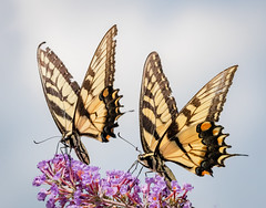 Swallowtails (tresed47) Tags: 2018 201808aug 20180808springtonmacro august butterflies canon7dmkii chestercounty content easterntigerswallowtail folder insects pennsylvania peterscamera petersphotos places season springtonmanor summer swallowtail takenby us