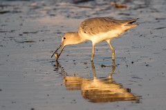 Willet at Sunset with a Fiddler Crab (dbadair) Tags: sunset outdoor seaside shore sea sky water nature wildlife 7dm2 ocean canon florida bird