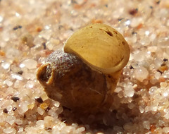 Gravel snail (Fluminicola seminalis) under side (shadowshador) Tags: gravel snail fluminicola seminalis neomura eukaryota opisthokonta holozoa filozoa animalia eumetazoa bilateria protostomia lophotrochozoa mollusca conchifera gastropoda gastropod gastropods caenogastropoda caenogastropod caenogastropods littorinimorpha truncatelloidea lithoglyphidae lithoglyphinae conchology malacology invertebrate invertebrates taxonomy scientific classification biology sea snails shell shells sand sandy beach wildlife life klamath river klamathriver hornbrook california united states unitedstates usa