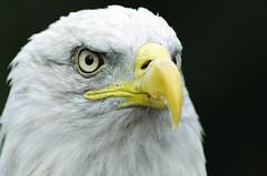 Bald Eagle (Caspar Smit) Tags: eagle baldeagle bird birds nikon d7000 birdsofprey adelaar roofvogel birdphotography baldegale