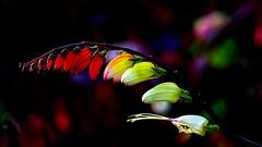 DSC02122 (Argstatter) Tags: blume blüten bokeh makro flower nahaufnahme gegenlicht pflanze natur