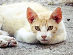 Cat eyes (Peideluo) Tags: street animals animales gato cat eyes ojos