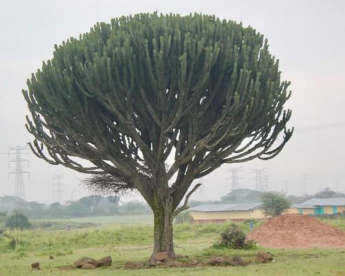 Huge cactus tree