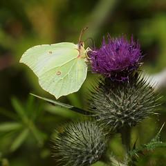 2018_07_0151sq (petermit2) Tags: brimstonebutterfly brimstone butterfly oldmoor dearnevalley dearne rotherham barnsley southyorkshire rspb