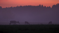 Shapes (adambotond) Tags: reddeer dawn silhouette sunrise outdoor nature naturephotography wildlife wildlifephotography wild wilderness wildanimal somogy stvsz deer hind fawn adambotond canon canoneos1dx canonef400f4doisiiusm tripod magyarország mammal hungary europe szarvas gímszarvas crossing shapes