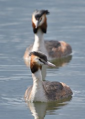 Gt. Crested Grebes (gillybooze) Tags: ©allrightsreserved bird greatcrestedgrebe birdwatcher grebe water pair reflection dof outside wildlife bokeh outdoor wild diver