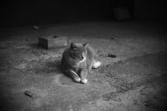 grey cat (Typ250) Tags: leicam leica leicammonochrom monochrome mmonochrom schneiderkreuznach xenonf2f5cm xenon