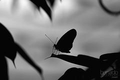Psyche (Bernardo Serrano) Tags: canon insectos bugs wild salvaje naturaleza nature mariposa butterfly butterflies insecto insect bug blancoynegro conceptual blackandwhite bw bn monocromático