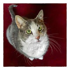 Inquisitive (Timothy Valentine) Tags: cat happycaturday quinnomannion home eastbridgewater massachusetts unitedstates us purrsonality
