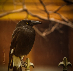 Clinging in the Rain (trebandicoot (Lynn)) Tags: nature currawong rain gothic australia queensland fauna native quirky ngc bird perched clinging animal noir mood npc pied feathers streperagraculina strepera graculina oneleg