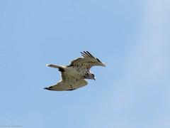 Biancone (riccardof55) Tags: birdwatching biancone uccello