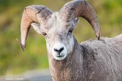 The big horned one (Photosuze) Tags: bighornedsheep montana male horns headshot face animals nature wildlife oviscanadensiscanadensis