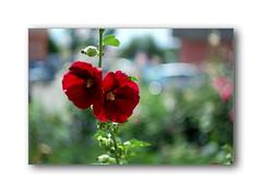 DSC_5519 (Terra Lyusi) Tags: manualfocus manual bokeh flora color colorful summer nature impressionism vintagelens