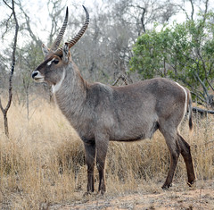 Kruger National Park, South Africa (flowcomm) Tags: krugernationalpark southafrica wildlife wild nature animals safari