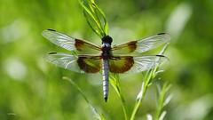 À La Mode (VGPhotoz) Tags: vgphotoz seethroughyou nature naturephotography artphotography wings arizona northamerica phoenix photography macrophotography satinwings usa skimpy