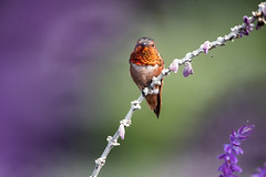 Living Sunshine! (Patricia Ware) Tags: allenshummingbird california canon ef400mmf4doisiiusmlens handheld male mexicanbushsage palosverdespeninsula salvialeucantha selasphorussasin ©2018patriciawareallrightsreserved unitedstates us specanimal