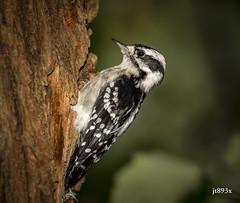 Downy Woodpecker (jt893x) Tags: 150600mm bird d500 downywoodpecker female jt893x nikon nikond500 picoidespubescens sigma sigma150600mmf563dgoshsms woodpecker coth alittlebeauty thesunshinegroup coth5 sunrays5