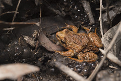 Victorian Smooth Froglet - Geocrinia victoriana (Wildlife, Landscape and Travel - Jono Dashper) Tags: victorian smooth froglet geocrinia victoriana bunyipstateforest victoria australia state forest national park animal frog endemic natural nature wild wildlife canon 1dx jono dashper 2018