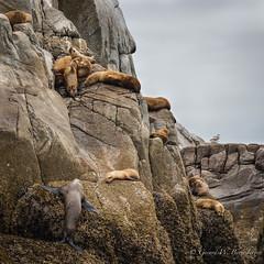 Steller's Sea Lion (Turk Images) Tags: britishcolumbia earedseals eumetopiasjubatus princerupert stellerssealion westcoast mammals otariidae colony island marine