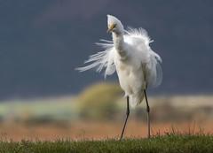 Great Egret - Zimanga - South-Africa (wietsej) Tags: great egret zimanga southafrica 35mm rx10 rx10iv rx10m4 bird