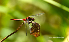 Red Dragonfly perched (Trevdog67) Tags: red dragonfly insect macro nature naturephotography naturelovers winged wings head eyes thorax abdomen nikon sigma nikond7500 sigma150600mm contemporary 14x teleconvert tc1401