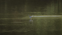 Locked on (Chris Bainbridge1) Tags: delichon urbica house martin over water catching insects norfolk