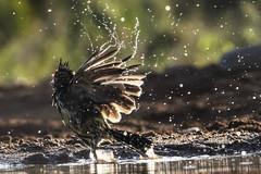 Crested Barbet - Zimanga - South-Africa (wietsej) Tags: crested barbet zimanga southafrica sony rx10 iv rx10m4 bird flight water