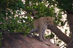 IMGP8553 Just a look around. (Claudio e Lucia Images around the world) Tags: leopard leopardo serengeti tanzania africa feline cat bigcat pentax pentaxk3ii sigma sigma50500 bigma wildlife animal nationalgeographic geographic africageographic pentaxart sigmaart