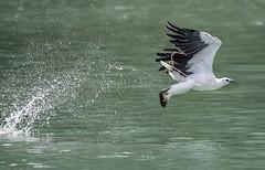 White Bellied Sea Eagle (Haliaeetus leucogaster) (My Pixel Magic) Tags: eagle bird birdphotography birdinflight birdofasia birdofmalaysia wildlife wildlifephotography actionofanimal wild outdoor nikond850 tamron150600mmg2