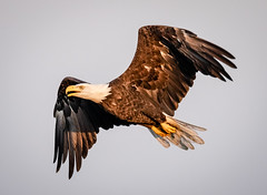 Early Morning Eagle (tresed47) Tags: 2018 201808aug 20180806bombayhookbirds august birds bombayhook canon7dmkii content delaware eagle folder peterscamera petersphotos places season summer takenby us