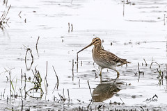 KV4A8589  Dobbeltbekkasin - Common Snipe - Gallinago gallinago, Lille Vildmose - Jylland - DK (I appreciate all the faves and visits many thanks) Tags: birds danmark dobbeltbekkasincommonsnipegallinagogallinago fugle jylland lillevildmose natur nature solveigøsterøschrøder vadere waders