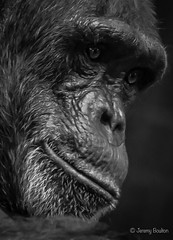 Watchful (JKmedia) Tags: chimpanzee chimp ape monkey boultonphotography 2018 chesterzoo primate